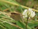 Allmän backmätare - Scotopteryx chenopodiata - Shaded Broad-bar