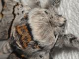 Gråvit gaffelsvans - Furcula bifida - Poplar Kitten