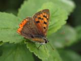 Mindre guldvinge - Lycaena phlaeas - Small Copper