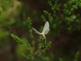 Vitgrön lundmätare - Jodis lactearia - Little Emerald
