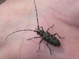 Tallbock - Monochamus sutor -  Small White-marmorated Long-horned Beetle