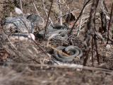 Snok - Natrix natrix - Grass snake