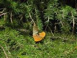 Silverstreckad pärlemorfjäril - Argynnis paphia - Silver-washed Fritillary