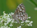 Rutig buskmätare - Chiasmia clathrata - Latticed Heath