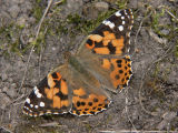 Tistelfjäril - Cynthia cardui - Painted Lady
