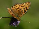Skogspärlemorfjäril - Argynnis adippe - High brown fritillary