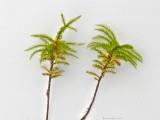 Climacium dendroides - Palmmossa - Tree-moss