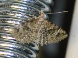 Kaprifolfjädermott - Alucita hexadactyla - Twenty-plume Moth