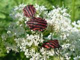 Strimlus - Graphosoma lineatum - Striped Shield Bug