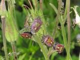 Hårig bärfis - Dolycorus baccarum - Hairy Shieldbug