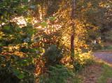 Early  sunshine  illuminates  the  hedgerow.