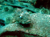 Dildo.. sculpins with spooky eyes