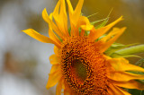 Sunflower In the Early Morning