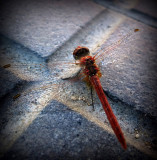 libélula incompleta