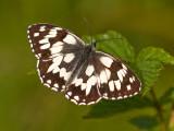 Butterfly_Schachbrettfalter_(Melanargia galathea)_2558.jpg
