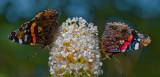 Butterfly_Der Admiral (Vanessa atalanta)_5578.jpg