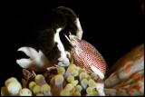 Porcelaine crab feeding