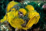 Yellow Scorpion Fish