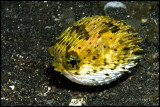 Small puffer