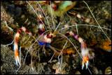 Boxer shrimp