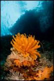 orange crinoid