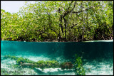 Mangrove Under-Over