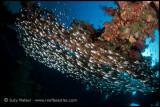 Carnatic glass fish