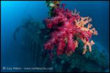 Carnatic soft coral