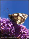Nans Garden White Butterfly