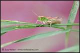 Green Cricket (side on)