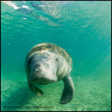 Manatee coming for a tickle