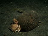 Coconut Shell Octopus In Shell