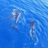 Dolphin pod, Sharm 2005
