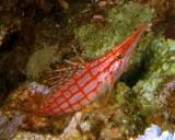 Hawkfish, Sharm 2005