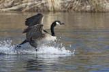 Bernache du Canada -- Canada Geese