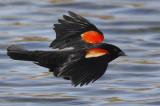 Carouge à épaulettes -- Red-winged Blackbird