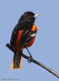 Oriole de Baltimore -- _E0K3538 -- Northern Oriole