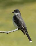 Tyran tritri -- Eastern Kingbird