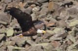 Pygargue à tête blanche -- _E0K4118 -- Bald Eagle