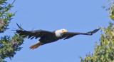 Pygargue à tête blanche -- _E0K2721 -- Bald Eagle