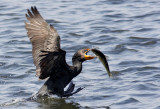Cormoran à aigrettes -- Double-crested Cormorant