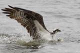 Balbuzard pêcheur -- _E0K4461 -- Osprey