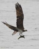 Balbuzard -- _E0K4474 -- Osprey