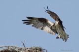 Balbuzard -- Osprey -- _E0K7316