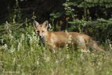 Renard roux -- _E0K8028 -- Red Fox