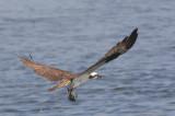 Balbuzard -- Osprey -- _E0K5914