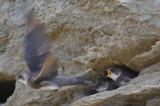 Hirondelle de rivage -- Bank Swallow