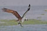 Balbuzard -- _E0K5923 -- Osprey