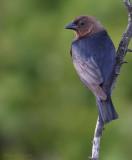 Vacher à tête brune -- _E0K7113 -- Brown-headed Cowbird