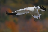 Oies blanches -- Snow Geese